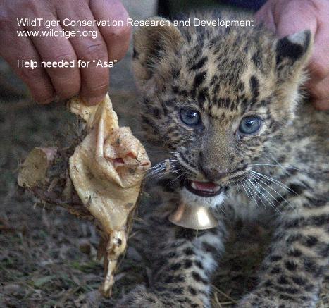 Save Asa the LeopardCub