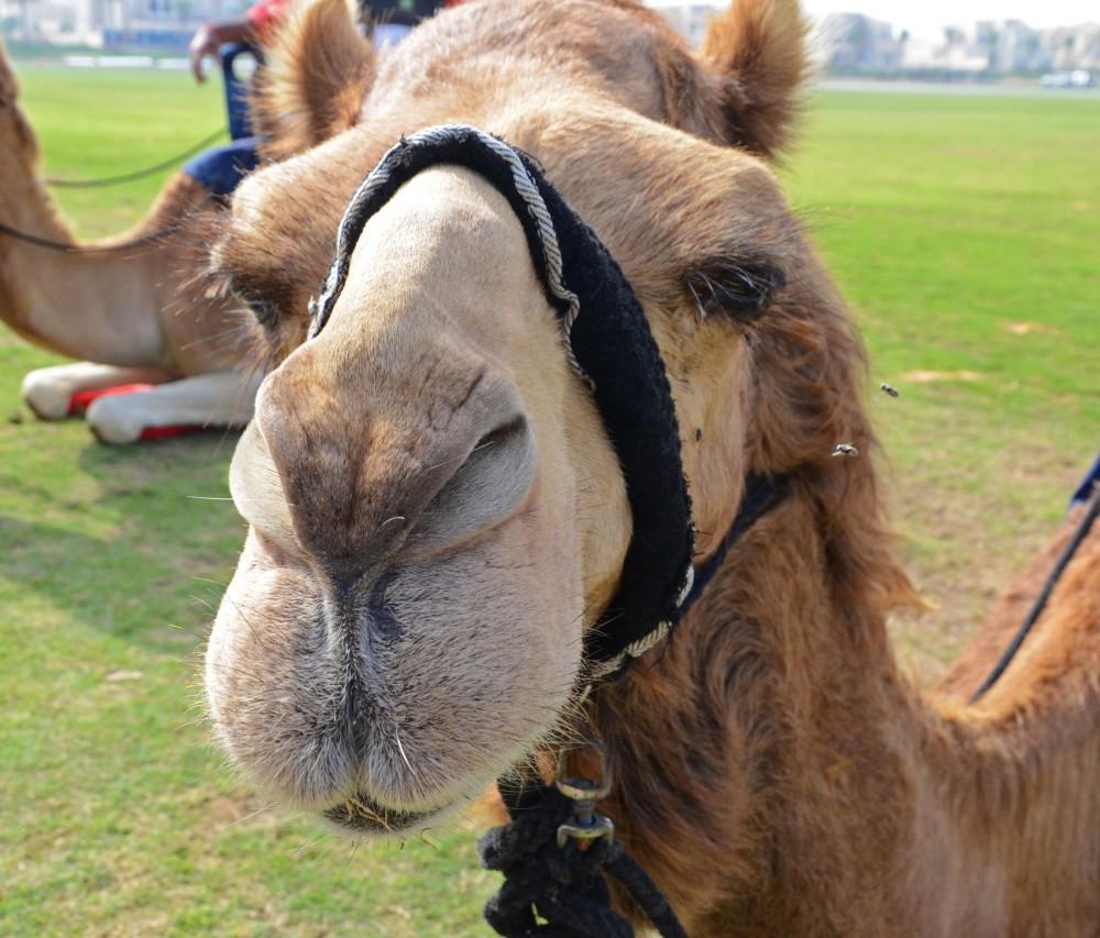Moussiah the Camel